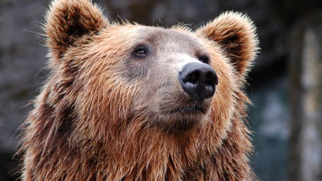 Bear staring at you - How Do Bear Bags Work