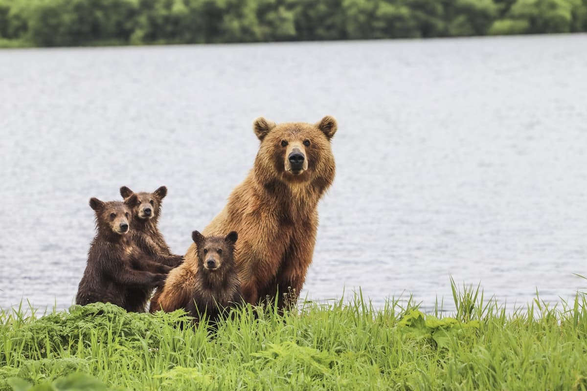 Photo is of a bear parent and 3 cubs in the grass near the water of what appears to be a large lake.